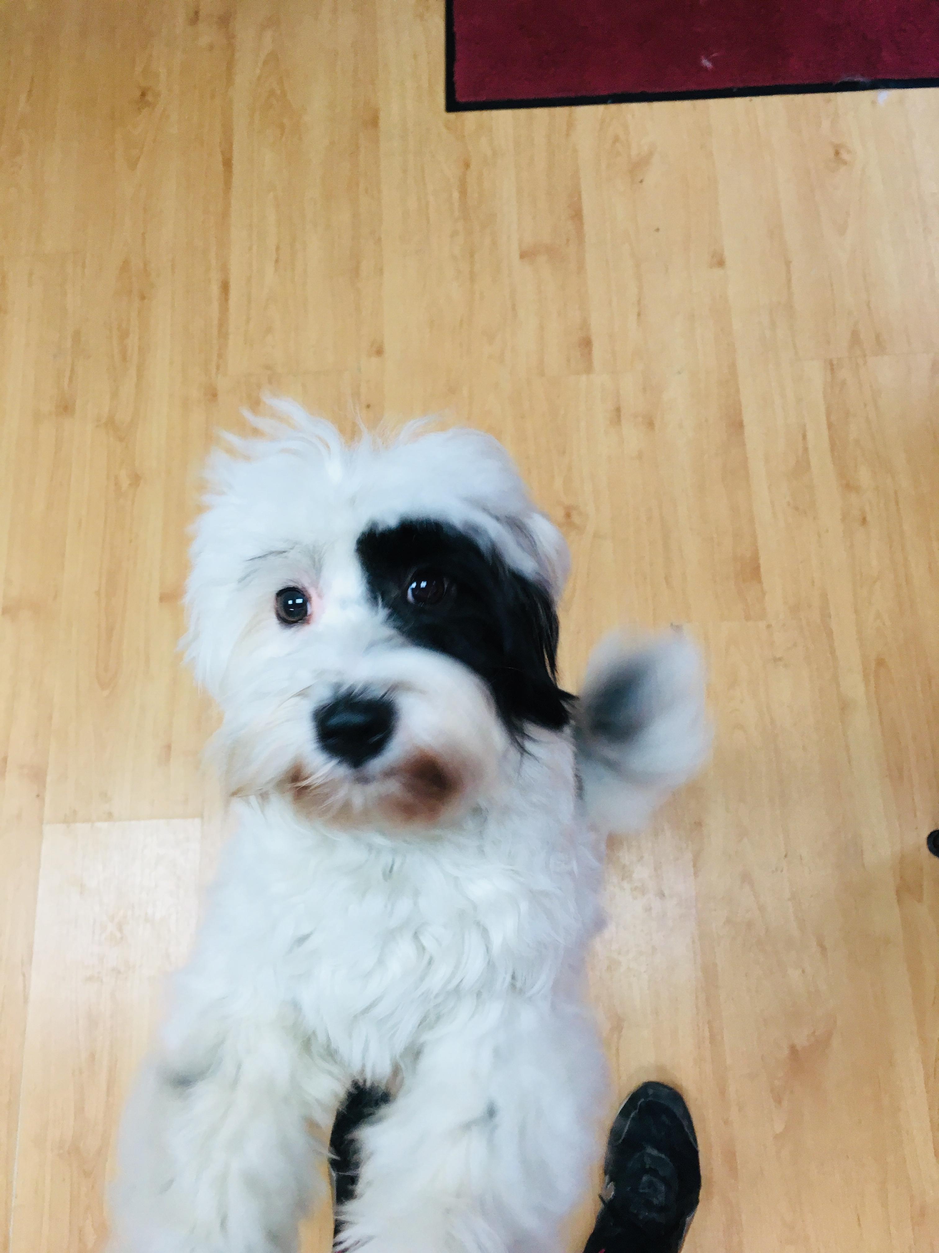 Louna Tibet Terrier